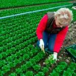 2,1 la sută din suprafaţa agricolă utilizată în România revine agriculturii ecologice