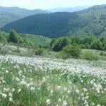 "20-21 mai 2017: Va avea loc ""Serbarea narciselor"", la Negrileasa, județul Alba | zlatnainfo.ro"