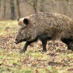 Un bărbat de 54 de ani a decedat la trei zile după ce a fost atacat de un mistreț, la marginea orașului Zlatna